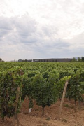 Schneider vineyard: total view with grapes
